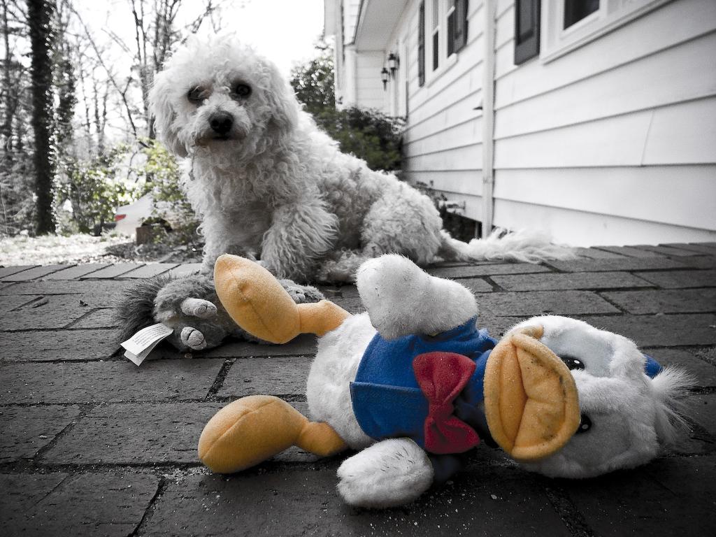 cachorro olhando brinquedo patinho